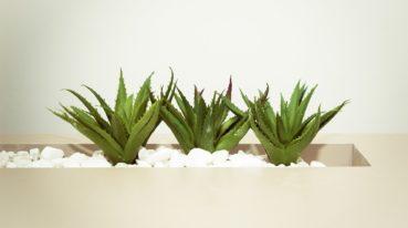 Aloe-Pflanzen